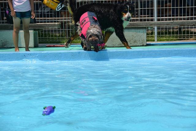 犬プールへダイブ1回目-構え
