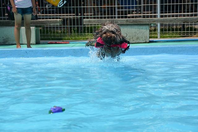 犬プールへダイブ1回目-ダイブ