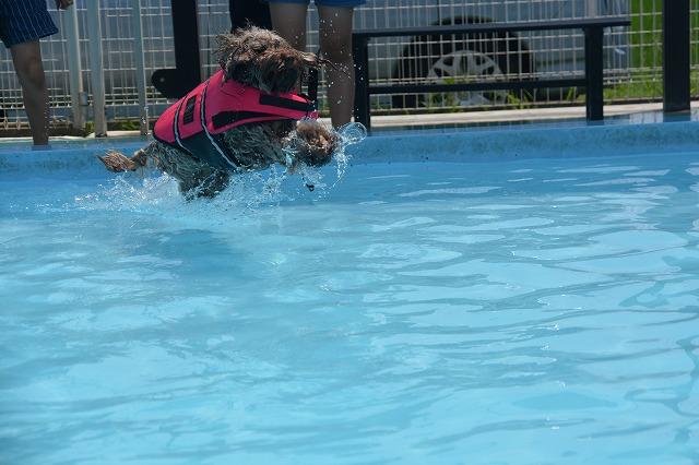 犬プールへダイブ2回目-2