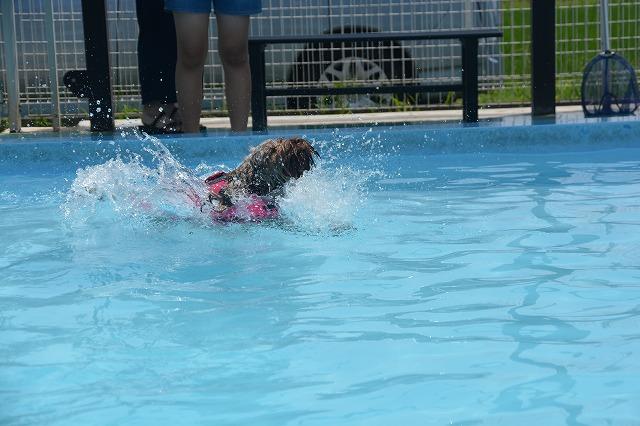 犬プールへダイブ2回目-バシャーン