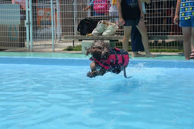 犬プールへダイブ3回目-飛行犬